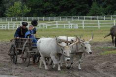 Cattle, Hungary, Grey, Animals, Gado Gado, Gray, Animales, Animaux, Animal