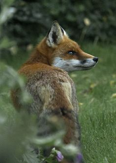 Red Fox by Peter Warne-Epping Forest