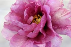 The Garden Times Tree Peony, Peony Flower, Flower Art, Wonderful Flowers, Beautiful Flowers, Garden Balls, Macro Flower, Floral Paintings, Watercolor Ideas