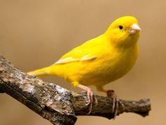 Canary - * beautiful birdsong *