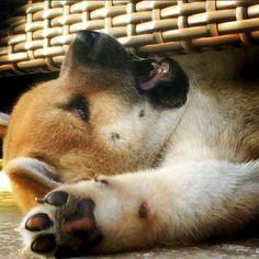 Shiba Inu puppies love getting themselves into mischief! #shiba #shibainu #shibainupuppies