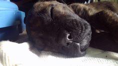 Cane corso puppy 62 day