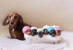 Sosis Köpeğin İçinizi Eritecek Annelik Fotoğrafları