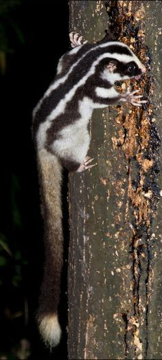 The Fergusson Island Striped Possum ( Dactylopsila tatei ) is found on only one of the islands (Fergusson Island) in, Papua New Guinea. The species is not well known, but it is thought to be restricted to primary tropical moist forest areas between 600 and 1,000 m altitude. Its reliance on a habitat that is under threat from expanding agriculture has resulted in this possum being assessed as Endangered.