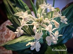 O.S.Naul- Personal collection of Orchids: Calanthe triplicata.
