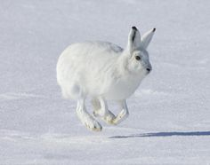 While the arctic tundra does not house much flora, it is home to a surprising amount of fauna. Although there are only 48 species located in the arctic tundra, there is an abundance of each species. Big Animals, Arctic Animals, Animals And Pets, Forest Animals, Adorable Animals, Arctic Hare, Arctic Tundra, Snowshoe Hare, Rabbit Wallpaper