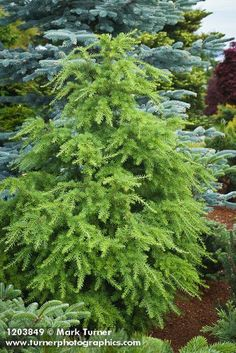 dwarf alpine fir and mountain