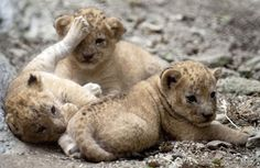 λιονταρακια - Αναζήτηση Google