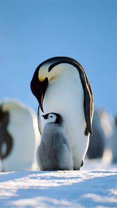 Penguins family iPhone 6/6 plus wallpaper
