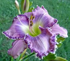 Hello, I'm new to daylilies, and see that this could become a serious addiction. Could anyone recommend a dark purple one that is a special favorite? Thanks so much!
