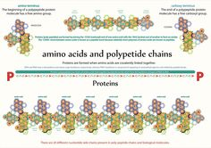 Tetryonics 109.02 - Chains of amino acids form peptides [via their amide bonds] which in turn can form polypeptide [Protein] molecules