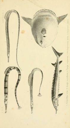 De visschen, - Biodiversity Heritage Library
