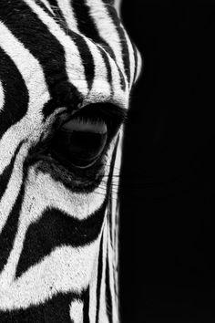 A close Up portrait of a Plain's Zebra (Equus quagga, formerly Equus burchelli), also known as the common zebra or Burchell's zebra. Image taken in the Serengeti National Park in Tanzania. Who says animals have no souls? Arte Zebra, Zebra Kunst, Zebra Art, Zebra Wallpaper, Mac Wallpaper, Wallpaper Backgrounds, Zebras, Giraffes, Elephant Afrique