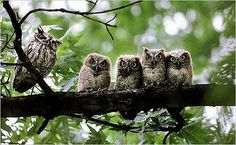 an Eastern Screech Owl family photo was taken by Doral Chenoweth for the New York Times in Nocturne, Birds In The Sky, Screech Owl, Owl Family, Happy Family, Beautiful Owl, Beautiful Family, Owl Always Love You, Owls