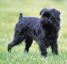 The Belgian Griffon is a breed created in the last century with crosses from Affenpinscher to Yorkshire, dwarf Schnauzer and Carlino. It is estimated that the race was stabilized at the end of the 19th century. Already in the 1890s, it was very popular in Brussels. According to the standard variety of small size should not exceed 3 kg; the great must not exceed 5. It is therefore of a tiny dog, round head and convex front.