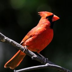 """""""Northern Cardinal inhabits much of North America, from Quebec, Canada all the way down to Central America. The male birds have bright red plumage, black faces and orange beaks, a red crest on their heads. The brownish red females are less colorful, which camouflages them when they are protecting their spring nests. These birds favor shrubby, forested areas, and they eat seeds and fruits in winter, with a supplement of insects in the summer months. Their call is a clear or trilled whistle."""""""