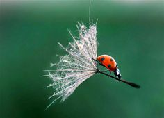 """Sept. 27, 2013: This amazing photo captures the incredible moment of a ladybug flying through the air on the back of a dandelion stalk. Young photographer Jagoda Cholacinska, 19, discovered her very own miniature wizard soaring through the air in a poppy field near her home in Poland. Jagoda said, """"I was walking in a poppy field when I noticed a ladybug imitating a witch on the pollen of a dandelion."""""""