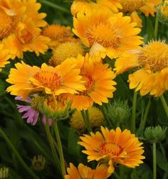 """Gaillardia 'Oranges & Lemons'. All Summer. Full sun, 18"""". Very impressed by this plant last summer...really did bloom all season... hoping to plant a few more!"""