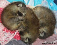 Baby raccoon    #raccoon   #babyraccoon   #cuteraccoon   #sweetraccoon   #littleraccoon  #cutebabyraccoon #babyanimals   #cuteanimals   #sweetanimals  #littleanimals Baby Raccoon, Cute Raccoon, Racoon, Baby Animals, Cute Animals, Animal Rights, Facts, Animals, Baby Racoon