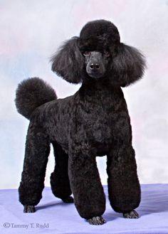 Black Miniature Poodle
