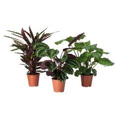 CALATHEA Potted plant - IKEA