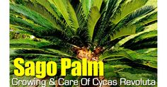 Sago palm care is easy. The king sago palm tree [Potting Soil Cycad Revoluta] a popular landscape and houseplant not actually a palm but a cycad. LEARN MORE #fal #spr #sum
