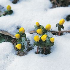 When they appear, you know spring is near! The aconite give its first flowers around 15 th of january.