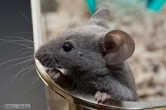 I really want a pet mouse!