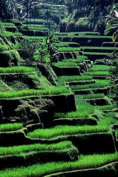 Rice pads . Bali . Indonesia