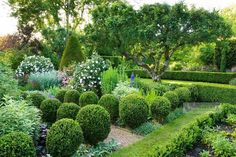 Formal garden with clipped box balls, gravel paths, roses, herbaceous perennials and view to lawns with box hedging and ancient apple tree - Cerne Abbas, Dorset