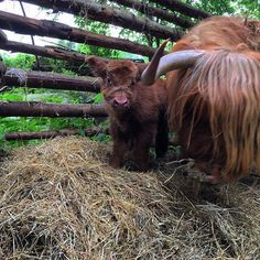One day old Highland Cattle calf