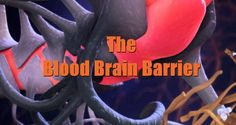 The Blood Brain Barrier Explained