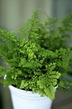 maidenhair fern - such a delicate looking fern - great for a shady faerie garden!!  ;)