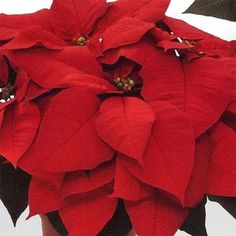 """Poinsettia variety """"Premium-Red"""" large red bracts--from Dummens"""
