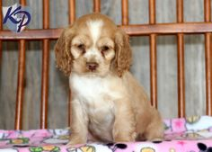 Nina – Cocker Spaniel Puppies for Sale in PA www.keystonepuppies.com  #keystonepuppies #cockerspaniel