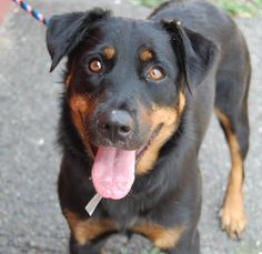 """SAFE 7/25/13 Brooklyn SPARKLE A0972158 FEMALE BLACK/BROWN ROTTIE MIX 1yr/1mo When most families move the entire family goes along Sparkle didn't belong to """"most families"""" This puppy belonged to a family that decided to shrink their no. &  what better way to do that than to plop your dog into a hi-kill shelter? Now this friendly, healthy dog stands to die tomorrow for no reason Don't let her die b/c her owners made a decision that none of us would make--advocate for Sparkle tonite"""