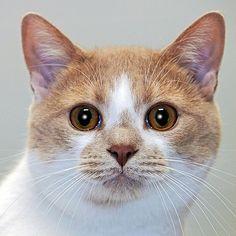 Henley-an-adoptable-cat-in-Utah