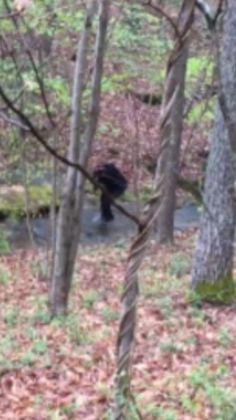 Appalachian Bigfoot