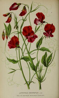 Sweet Pea - Lathyrus odoratus var. hort. - circa 1871