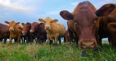 Factory Farm Meat: Why Vegetarians, Ranchers and Conscious Omnivores Need to Unite   Common Dreams   Breaking News & Views for the Progressive Community