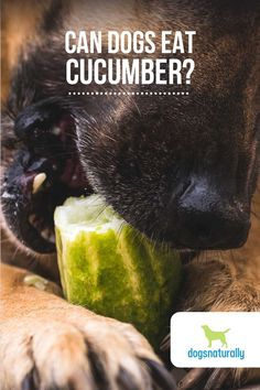 Here are our top 5 reasons to give your dog cucumber … 🥒 It's Full Of Antioxidants 🥒 Cucumber Has Anti-Inflammatory Properties 🥒 Keeps Your Dog Hydrated 🥒 Low In Calories 🥒 It May Help Prevent Cancer And make sure if you are feeding cucumber to leave the peel on! Most of the nutrition and benefits are in the peel. Click here to see exactly how this veggie can make a difference in your dog's snack routine.