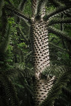 Monkey Puzzle tree - saw these in England and have loved them ever since!