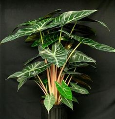Alocasia (Elephant Ears)  Toxic to Cats and Dogs