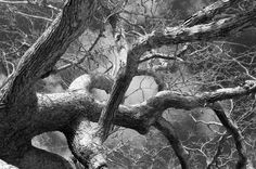 Isabelle Crawford's photograph of a North Tisbury oak will hang in the U.S. Capitol.