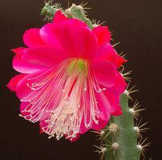Heliocereus_speciosus cactus flower