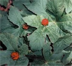 Goldenseal  is bound to Venus and Fire.  It is an herb of attraction, and is used in  spells, rituals, and candle magick (sprinkle at the base of a green or gold  candle) to attract money, wealth, success, prosperity, and before embarking on  business dealings and financial matters.