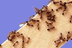 In the port of Tokyo have found one of the most dangerous species of ants Summer House Garden, Home And Garden, Kill Fire Ants, Ant Problem, Ant Colony, Types Of Fire, Small Farm, Cool Plants, Pest Control