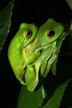 Orange-eyed tree frogs in amplexus - Litoria chloris greentreefrog Green Tree Frog, Red Eyed Tree Frog, Picture Tree, Frog And Toad, Little Critter, Exotic Fish, Reptiles And Amphibians, Tree Frogs, Tortoises