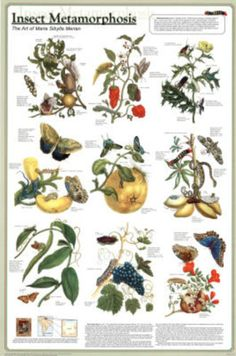 Insect Metamorphosis Educational Science Chart Poster Poster