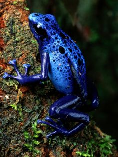 Blue Poison-Dart Frog Photographic Print by George Grall at AllPosters.com